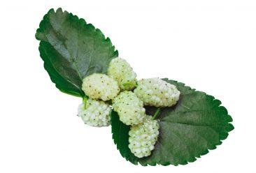 תות עץ לבן